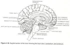 What Is The Main Function Of The Medulla Oblongata Chapter 4 The Horizontal Neurologic Levels