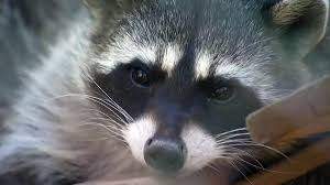 nj town issues rabies warning after raccoon tests positive for