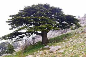 cedar tree the national flower of lebanon