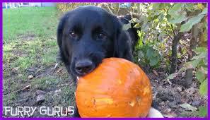 belgian sheepdog border collie mix dog vs pumpkin golden retriever border collie mix youtube