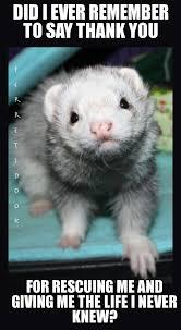 Ferret Meme - is a ferret right for you ferret universe ferret memes lol rofl