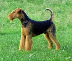 afghan hound saddle the animal mei 2015