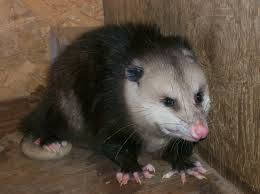 How To Get Rid Of A Skunk In Your Backyard How To Get Rid Of Possum Problems
