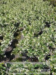 chinese star jasmine 200mm pot trachlespermum jasminoides