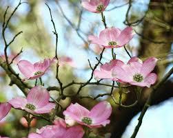 dogwood flowers dogwood flowers pink dogwood tree landscape 9 giclee prints