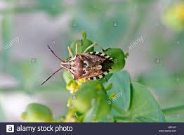 was ist das für ein insekt eine wanze oder was urlaub insekten insects bug bugs codophila varius fleckenwanze insekten wanzen wanze