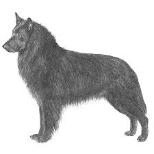 belgian sheepdog guard dog belgian sheepdog dog breed information american kennel club