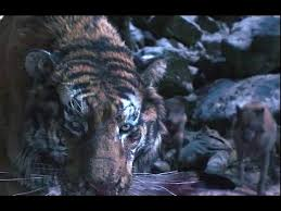tiger wolf fight the tiger an s tale hd