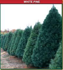 white pine wisconsin tree