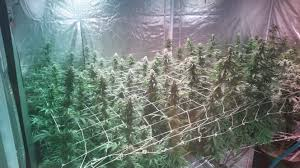 black dog led grow harvest is in final yield results on page 61