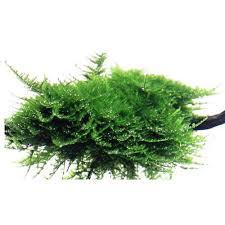 vesicularia dubyana christmas moss 003a por 6 99 tropical