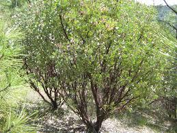 manzanita trees manzanita trees 27