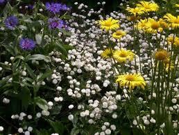 Baby S Breath Flower How To Grow Baby U0027s Breath Gardening Channel