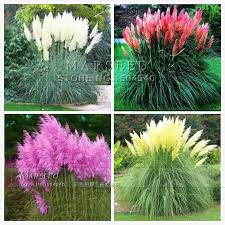 best ornamental grass seeds so beautiful diy home garden plant