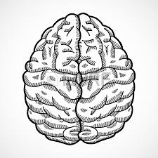 human brain cortex top view sketch isolated on white background