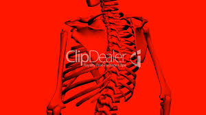 Human Body Chest Anatomy Rotation Of 3d Skeleton Ribs Chest Anatomy Human Medical Body
