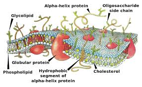 Structural Features Of White Blood Cells Human Physiology Print Version Wikibooks Open Books For An Open