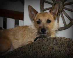 brindle cairn haircut toxirn cairn terrier chihuahua mix info puppies pictures