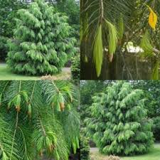 cheap ornamental spruce find ornamental spruce deals on line at