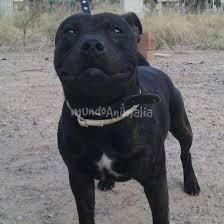 american pitbull terrier 9 meses kiko con 9 meses foros de staffordshire bull terrier pag 2