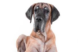 lifespan of a bluetick coonhound how long do dogs live american kennel club