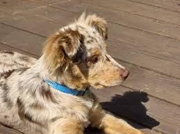 australian shepherd merle puppies red merle australian shepherd come and see us for fun items for