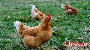 chicken animals for children kids videos kindergarten preschool