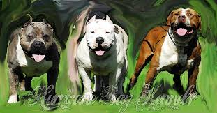 land of giants american pitbull terriers hurricane bay kennels xl pitbulls and bullies