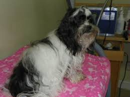 shih tzu with curly hair grooming smarter getting the wrinkles out