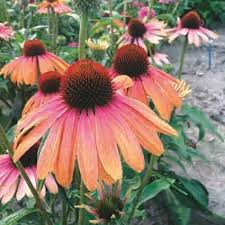 echinacea flower rainbow marcella echinacea jung garden and flower seed company