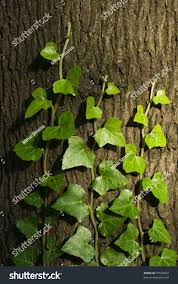 green ivy climbing tree trunk stock photo 70520830 shutterstock