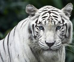 blue eyed tiger only white tigers blue tigers