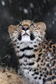 Brookfield Zoo Halloween by Brookfield Zoo Shares Photo Of Amur Leopard Cub U0027s First Snow