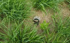 native plantings native grass plantings for deer beware whitetail habitat solutions