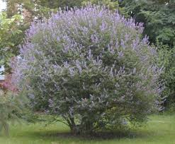 Tree With Purple Flowers Front Yard Garden With Purple Chaste Tree Outdoor Yard Chaste