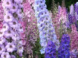 delphinium flower larkspur 250 species of annual biennial or perennial flowering