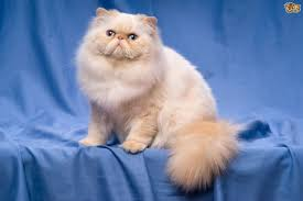 persian cat breed information buying advice photos and facts