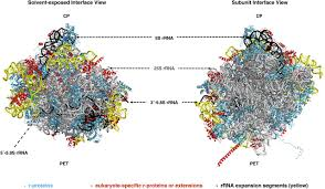 principles of 60s ribosomal subunit assembly emerging from recent