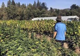 Challenge Plant Pot Court Challenge Seeks To Block Vast California Pot Farms The