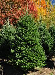 fraser fir christmas trees wholesale fraser firs