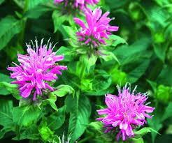 Flower Balm - how to grow bee balm