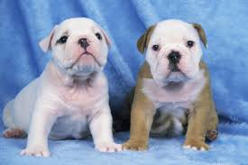 Do English Bullmastiffs Shed by Information About The Victorian Bulldog You Won U0027t Find Elsewhere
