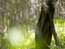 wisteria tree hd desktop wallpaper widescreen high definition
