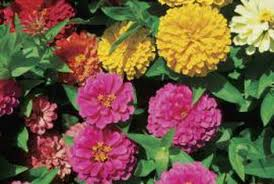 zinnia flowers how to get more flowers on zinnias with one flower to a stem