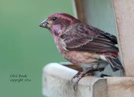 state bird of new hampshire birds of new england com