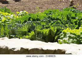 vegetables growing in a walled garden in the sunny western cape