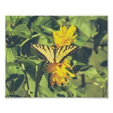 yellow butterfly butterflies insects nature poster photographers