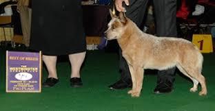 westminster australian shepherd 2014 herding group doggies com dog blog