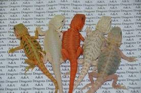 6 answers bearded dragons