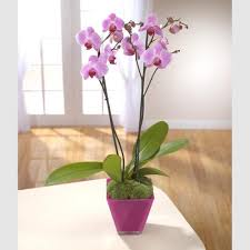pink phalenopsis orchid delivery reading berkshire